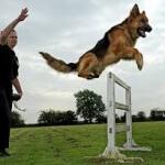 Perawatan jitu anjing herder (german shepherd)