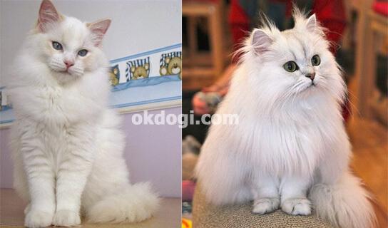 perbedaan bentuk fisik kucing persia dan angora