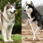 Inilah yang berbeda dari alaskan malamute dan siberian husky