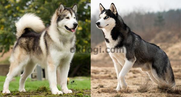 perbedaan siberian husky dan alaskan malamute