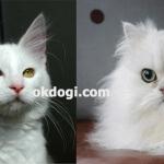 Apakah yang berbeda antara kucing persia dan angora?