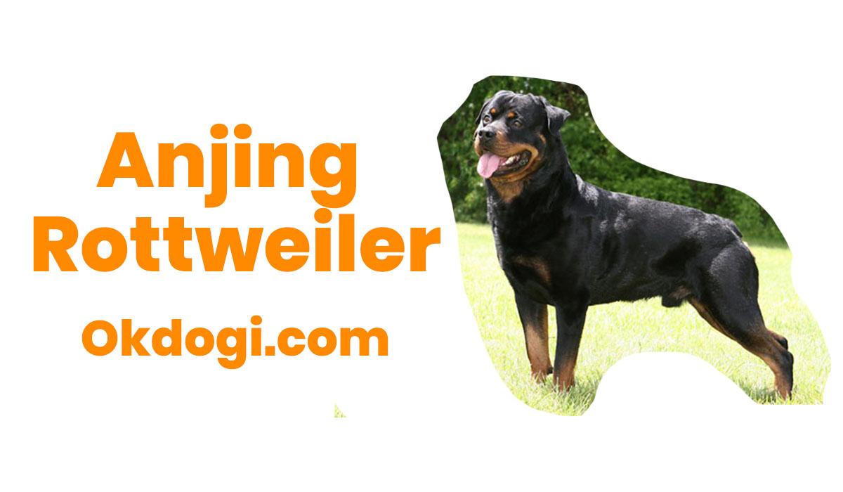 Anjing Rottweiler : Karakter, Perawatan & Harga