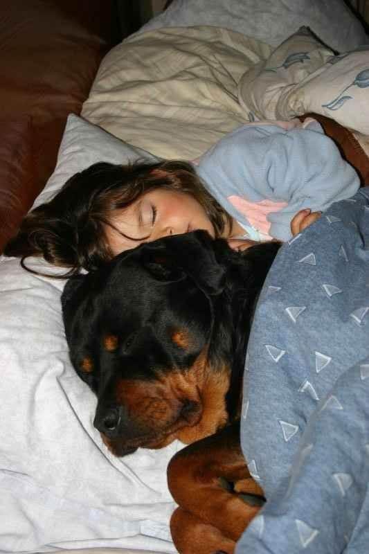rottweiler dapat menjadi anjing yang ramah