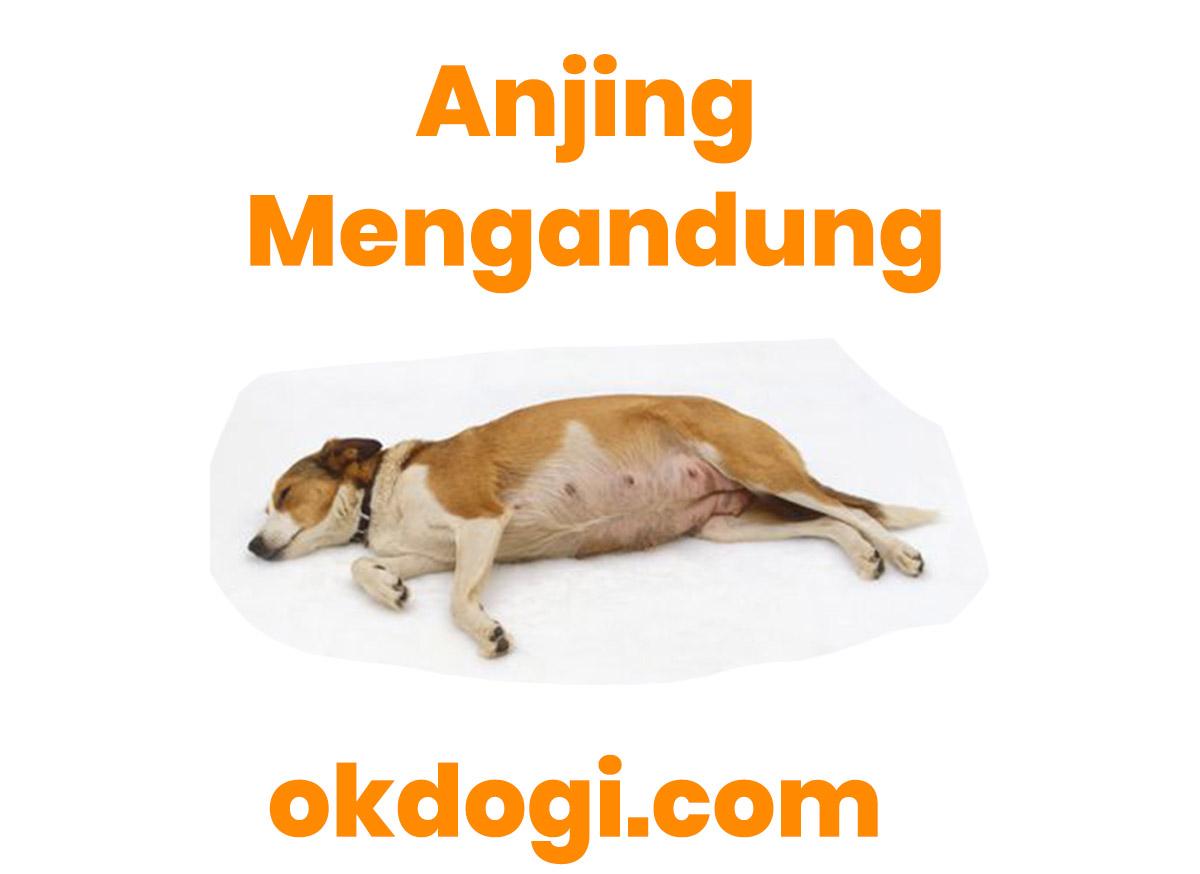 Anjing Hamil : Ciri Fisik & Kalender Anjing Sedang Mengandung