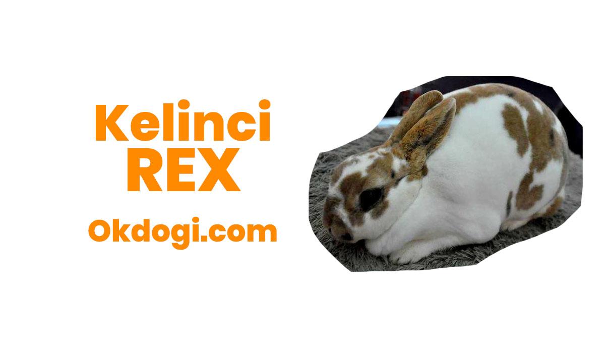 Kelinci Rex : Ciri Karakteristik, Perawatan & Harga