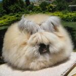 5 Jenis peranakan kelinci anggora