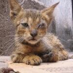 Virus yang berbahaya untuk kucing anda di rumah