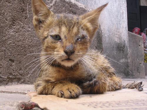 Feline Panleucopenia virus kucing
