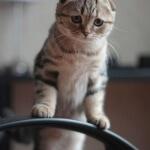 Unik menggemasakan karakter kucing scottish fold