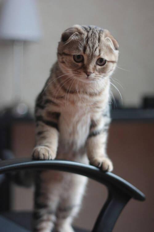 Kucing Scottish Fold : Harga Terbaru, Ciri Fisik & Cara Merawat