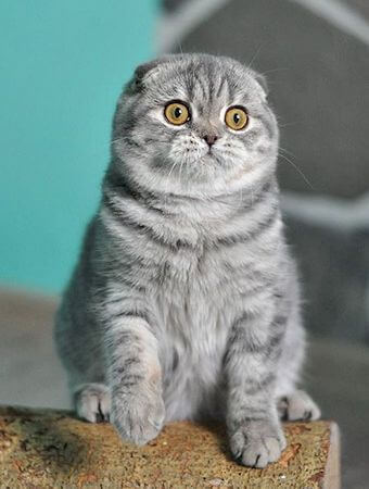 perawatan kucing scottish fold