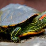 Profil lengkap kura-kura brazil yang exotis!