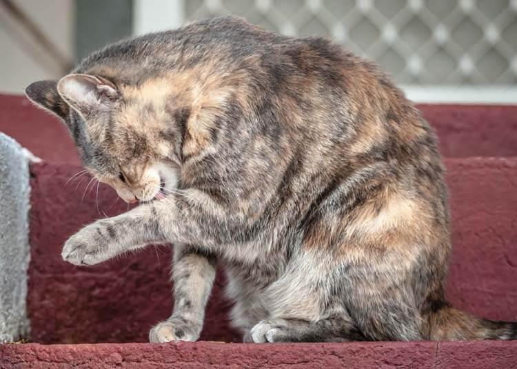 Psychogenic Alopecia kucing