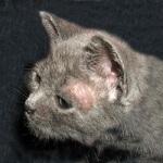 Waspada dengan penyakit kulit pada kucing anda!