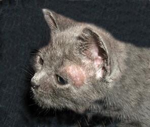 Penyebab Cara Mengobati Sakit Kulit Kucing Waspada Okdogi Com