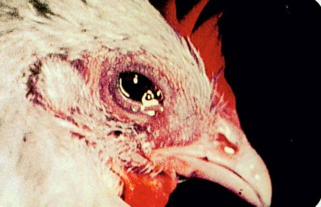 Image result for penyakit snot