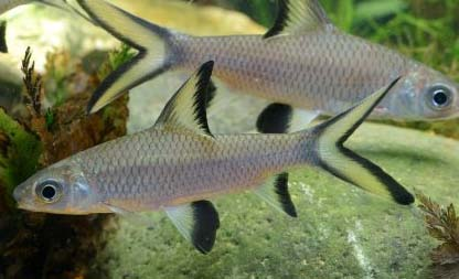 Ikan hiu bala