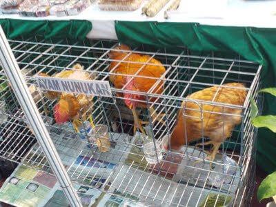 ayam petelur nunukan