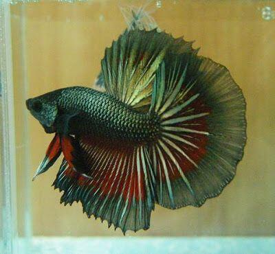 24 Jenis Ikan Hias Yang Dapat di Pelihara Di Rumah ...