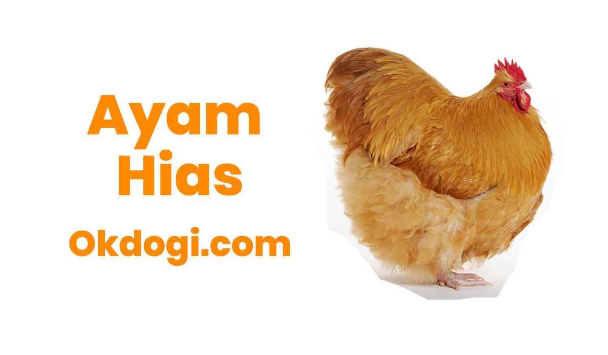 jenis ayam hias