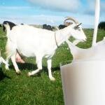 12 Manfaat sempurna dari susu kambing etawa