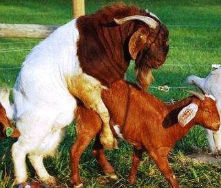 proses perkawinan kambing boer