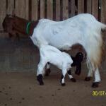 Pedoman lengkap beternak kambing untuk pebisnis pemula
