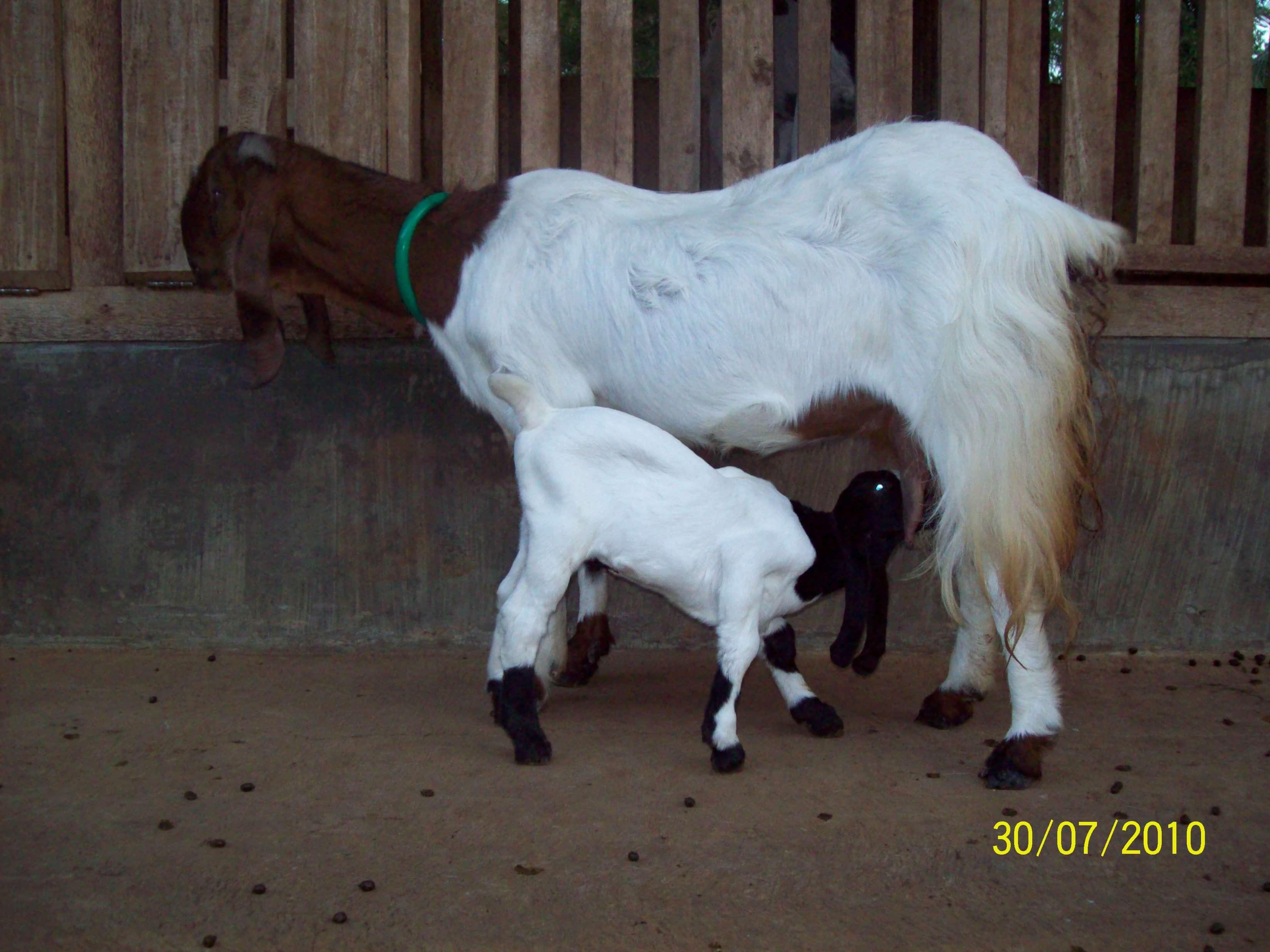 reproduksi kambing
