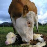 Sapi simmental, nikmati tinggi kualitas daging dan susu