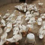 Langkah Beternak Bebek yang Terbukti Berhasil