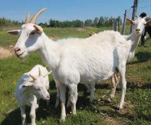 kambing kosta