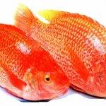 Ayo Mengenal Semua hal Tentang Ikan Nila Merah