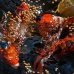 Jenis Pakan Makanan Sehat Untuk Ikan Koi