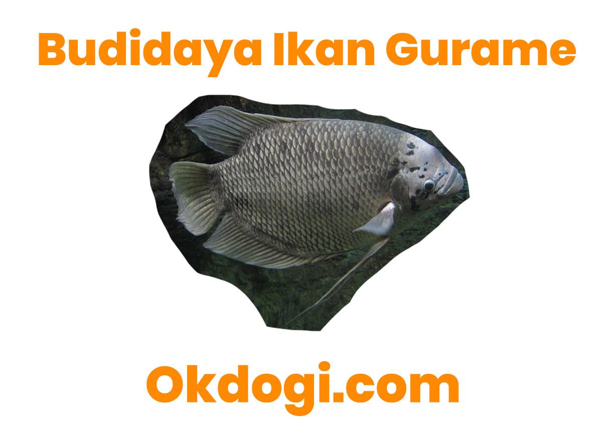 Cara Sukses Budidaya Ikan Gurame Yang TERBUKTI BERHASIL!