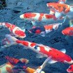 Jenis Ikan Koi Hias, Pecinta Koi Wajib Tau!