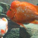 Jenis Jenis Ikan Louhan Yang Perlu Kamu Ketahui