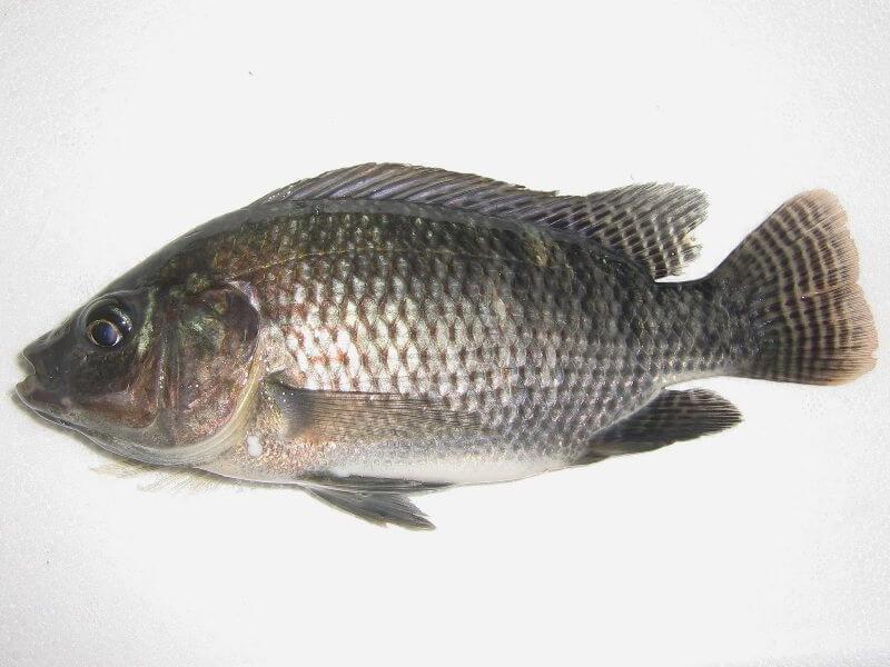 Jenis Ikan Nila Lengkap Beserta Dengan Gambar