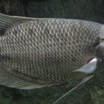 Cara Budidaya Ternak Ikan Gurame Yang Umum di Lakukan