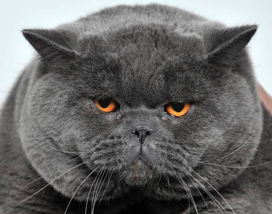 bahaya kucing gemuk