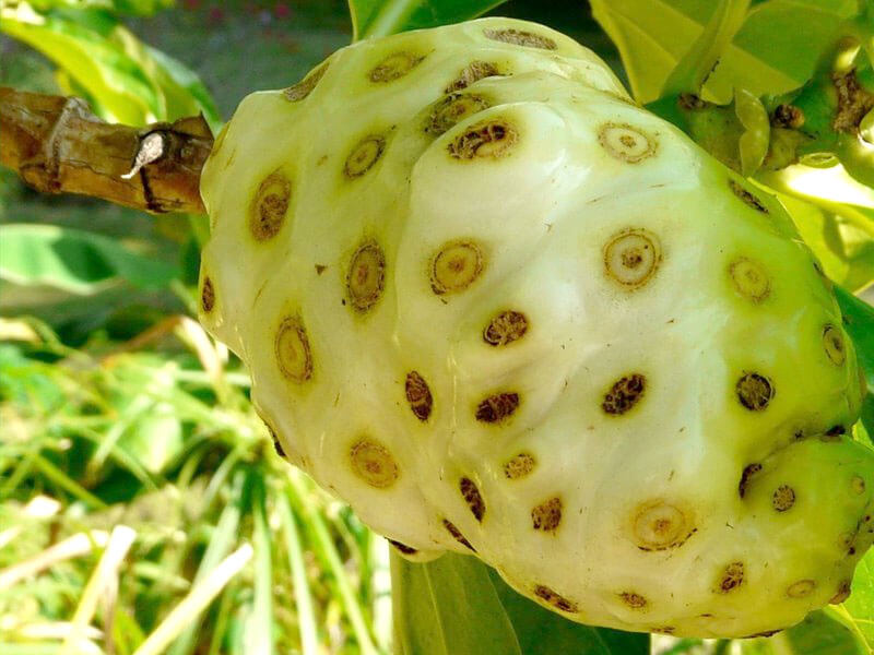buah mengkudu untuk ciblek