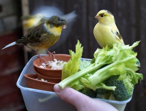 sayuran untuk kenari