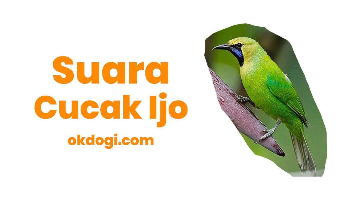Download Suara Cucak Ijo Mp3 Ngerol + Mini