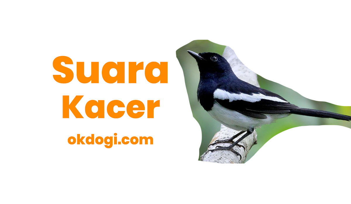 Download Mastering Suara Kacer Tarung Gacor Mp3 + Betina