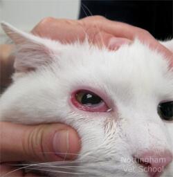 bagian luar mata memerah