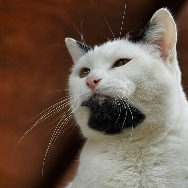 ciri kucing jantan birahi