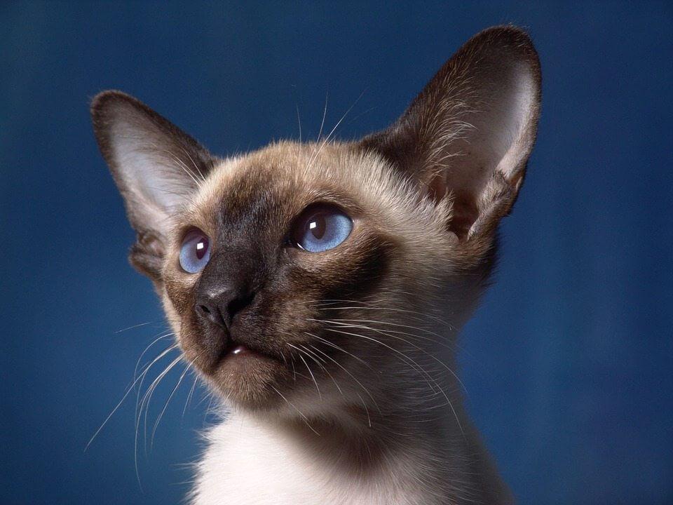 kucing coklat point