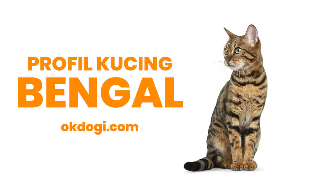 Kucing Bengal : Harga Terbaru, Ciri Fisik Asli dan Perawatan