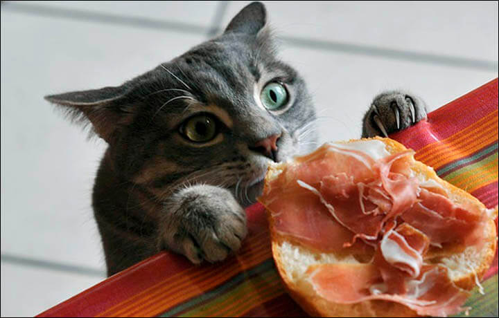 kenapa kucing selalu lapar