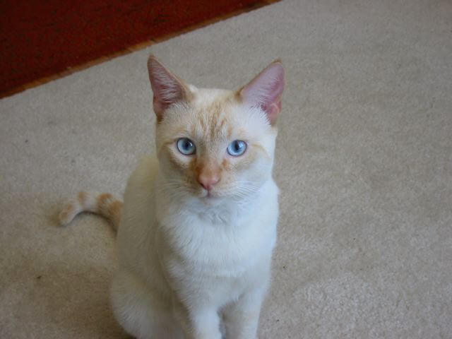 kucing siam cream point