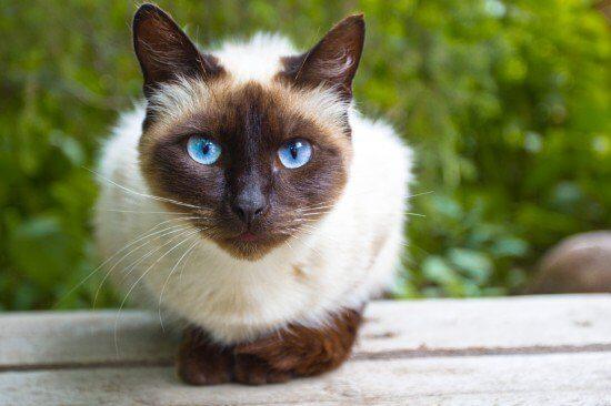 kucing siam applehead